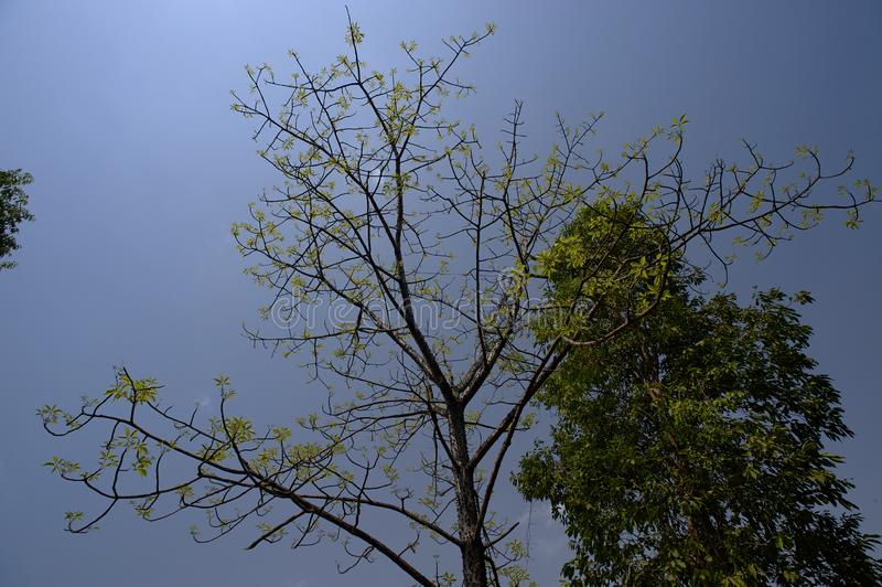 自然绿色叶子在桑格阿姆内尔艾哈迈德讷格尔县,马哈拉施特拉附近的丝绸棉花树 免版税库存图片