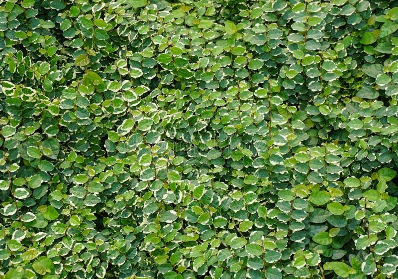 自然绿色微小的叶子墙壁背景 库存图片