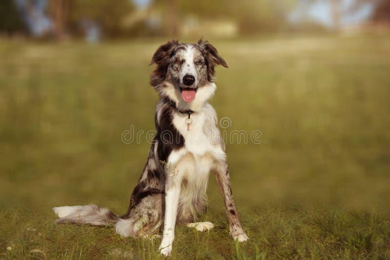 自然绿草的画象愉快的博德牧羊犬苏格兰人在公园 库存照片