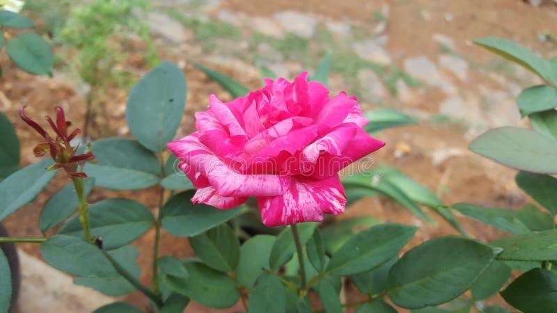 自然美丽的双重桃红色颜色玫瑰 图库摄影
