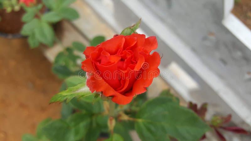 自然美丽的橙色颜色玫瑰 库存图片