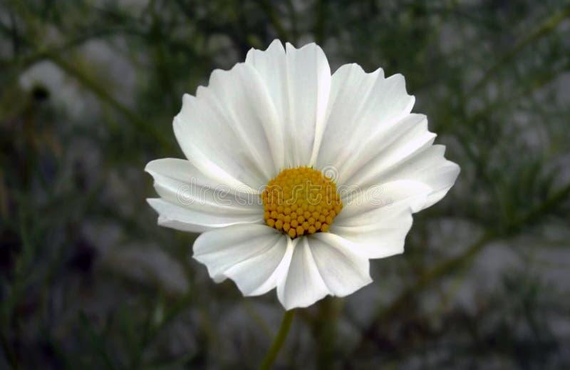 自然美好的白色波斯菊花细节 库存照片