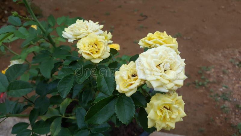 自然美好的黄色和黄油颜色罗斯 免版税库存图片