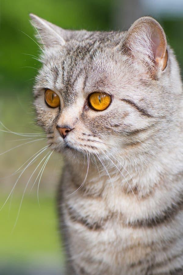 自然背景中的短胸猫 图库摄影