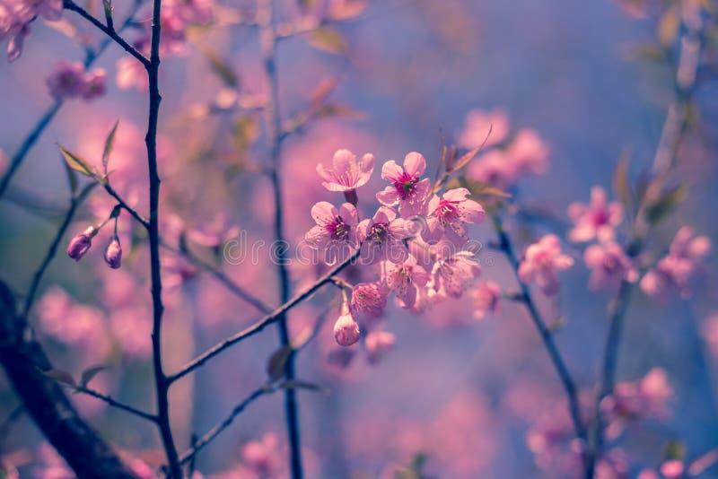 自然背景美丽树樱桃桃红色花在春天 免版税库存图片
