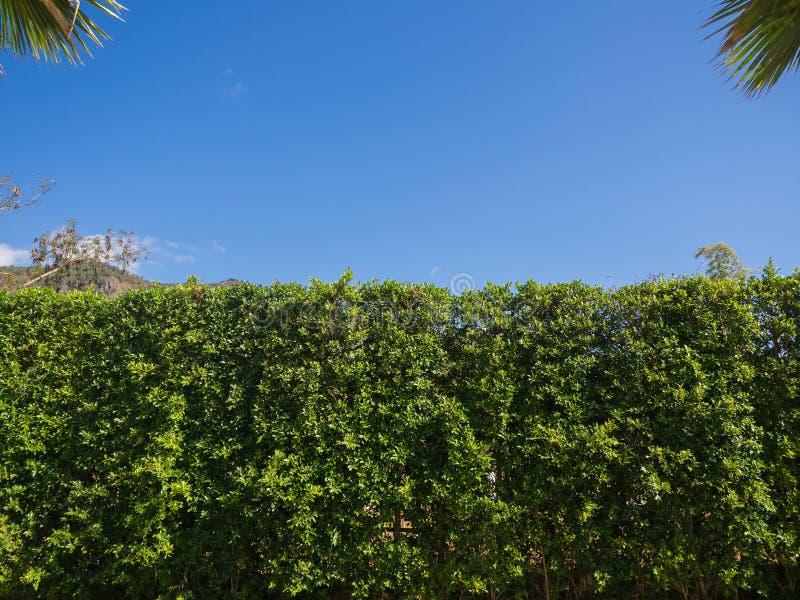 自然背景,有蓝天的美丽的绿色树篱篱芭 库存照片