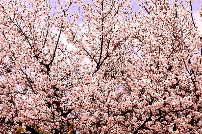 自然自然本底包括在计算机处理的密集地开花的树 免版税库存图片