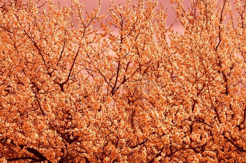 自然自然本底包括在计算机处理的密集地开花的树 免版税库存照片