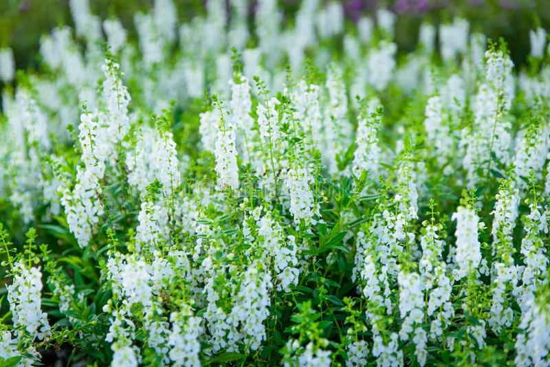 自然花桃红色和白色在庭院,软的焦点里 免版税库存照片