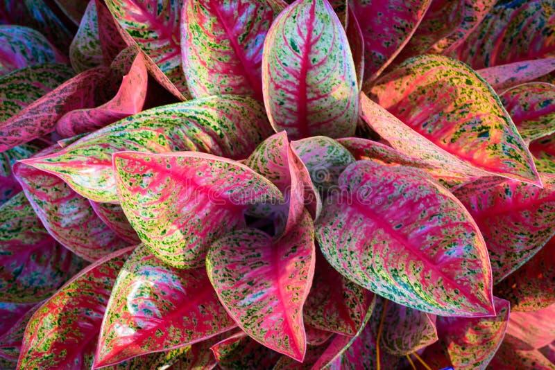 自然花桃红色和白色在庭院,软的焦点里 免版税库存图片