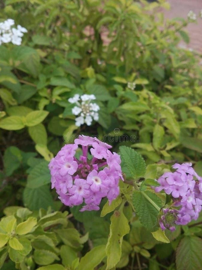 自然花紫罗兰色绿色 免版税库存照片