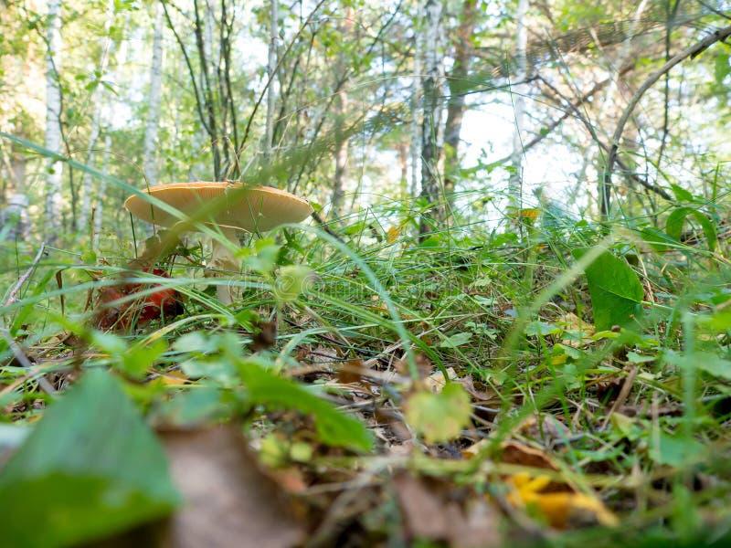 自然蘑菇 图库摄影