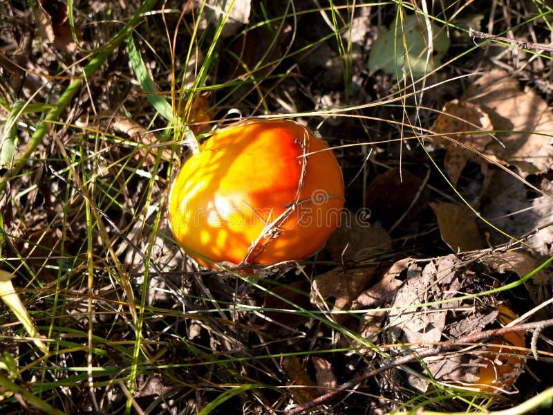 自然蘑菇 库存照片