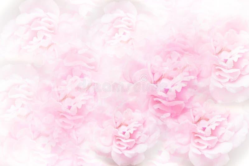 自然软的桃红色玫瑰开花婚姻或valentin的背景 库存图片