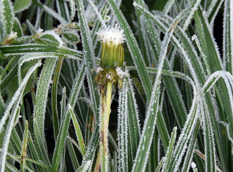 自然,有霜白色针的叶子冬天细节  免版税库存图片