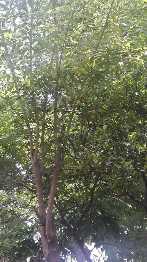 自然椴树 图库摄影