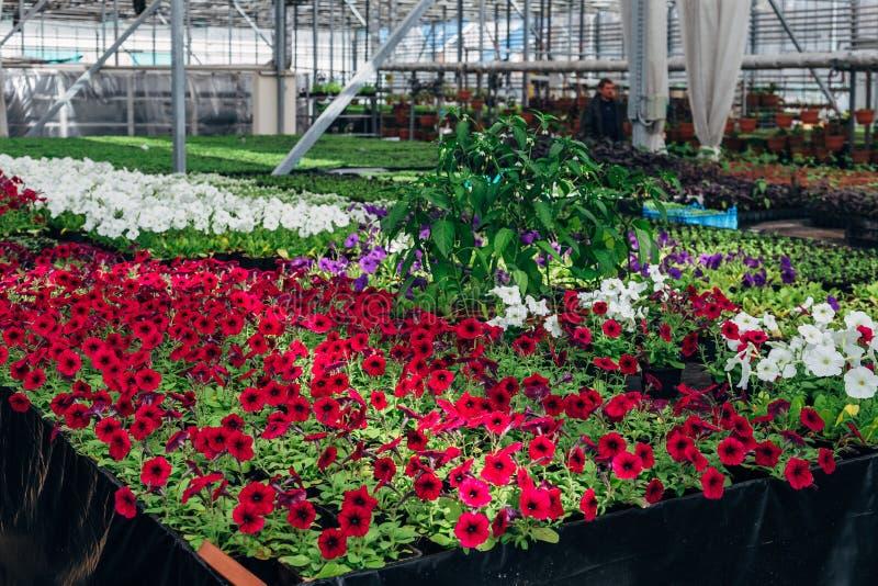 自现代温室增长的开花的喇叭花 库存照片