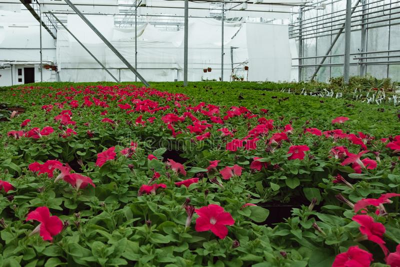 自现代温室增长的开花的喇叭花 免版税图库摄影