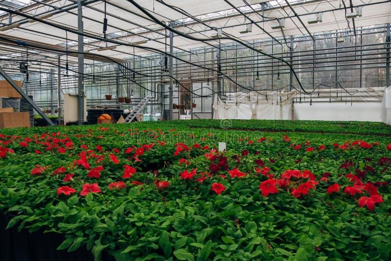 自现代温室增长的开花的喇叭花 库存图片