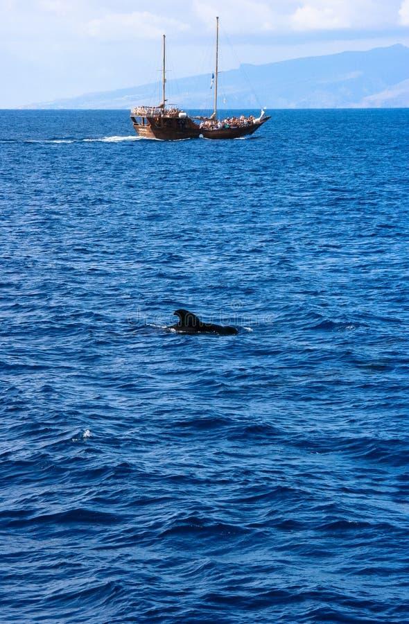 自由任意游泳海豚的圆头鲸在特内里费岛海岛西班牙 免版税库存图片
