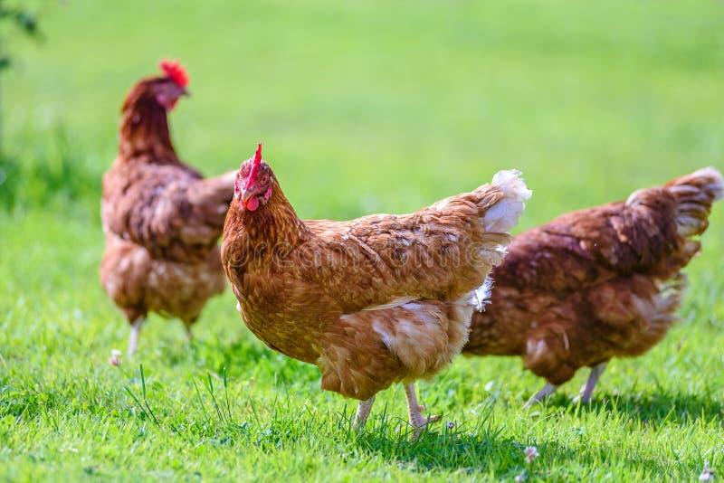 自由和愉快的母鸡 免版税库存照片