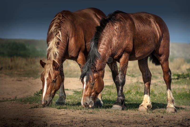 自由地吃草在草甸的两匹马 免版税图库摄影