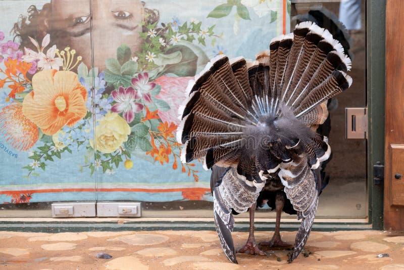 自由地漫步在地面的火鸡后方在Babylonstoren酒庄园,弗朗斯胡克,海角Winelands,南非 免版税库存照片