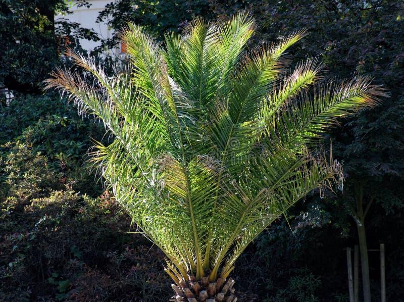 自由地站立的棕榈 免版税图库摄影