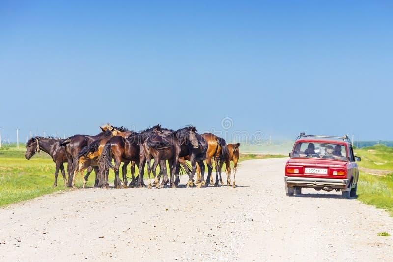 自由地走在汽车中的农村路的小组马 免版税库存照片