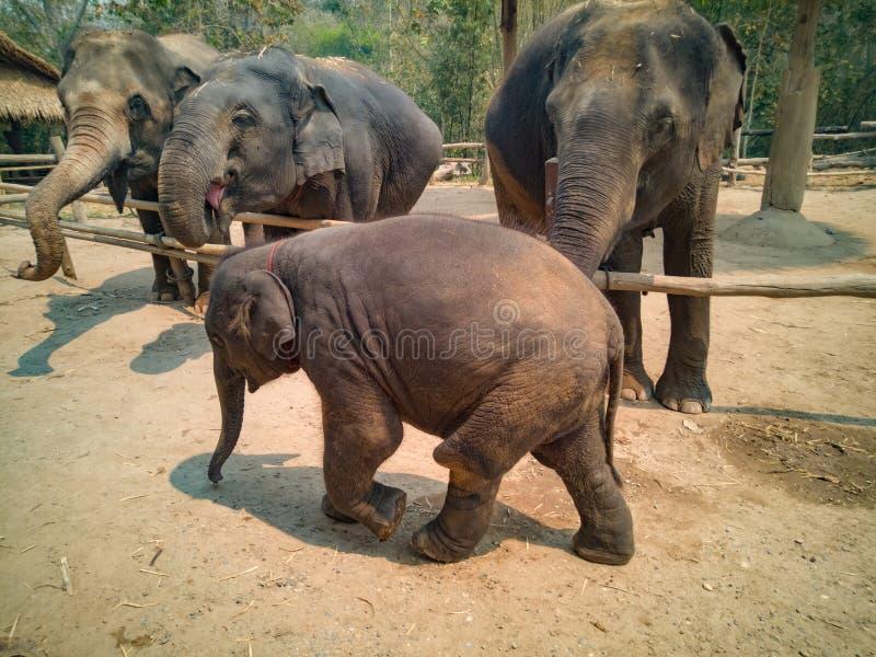 自由地走的大象 库存图片