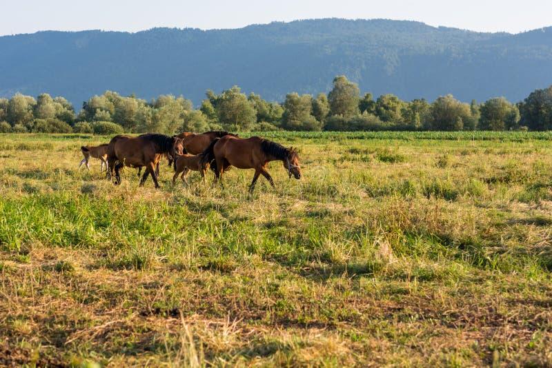 自由地跑在晚上光的马 免版税库存照片