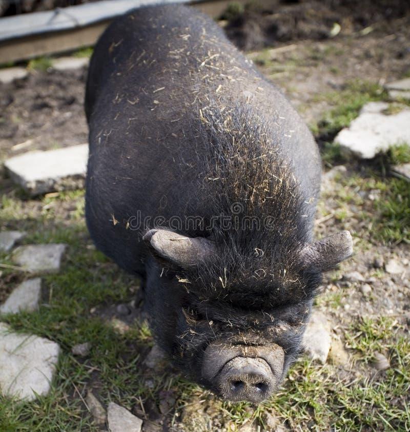 自由放养的日本有机猪 库存照片
