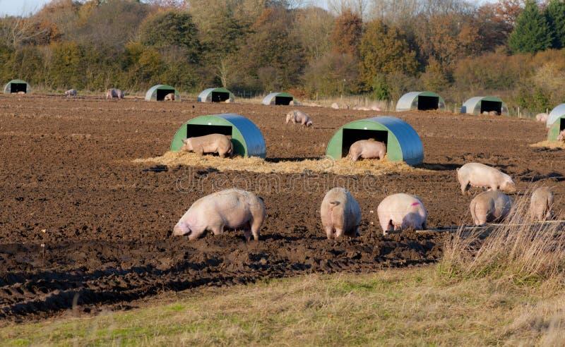 自由放养的猪在秋天。 库存图片