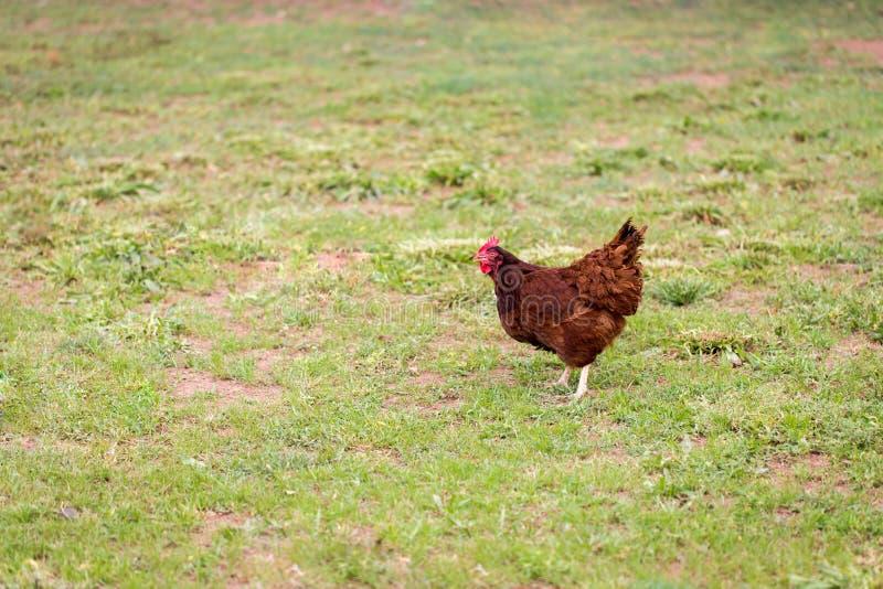 自由放养的母鸡在牧场地 免版税库存图片