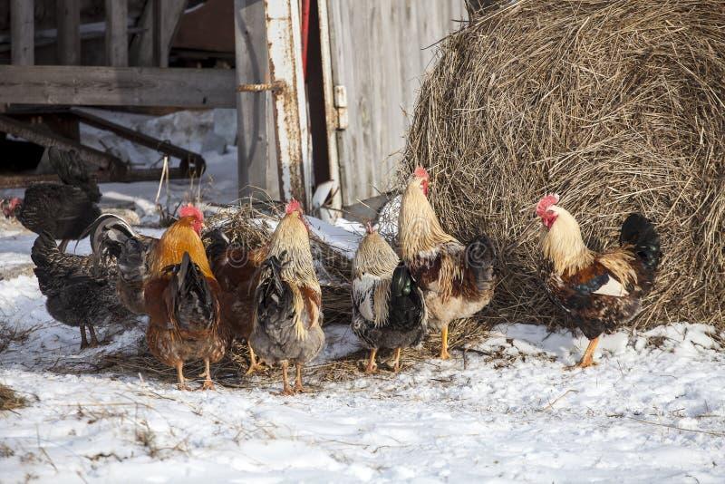 自由放养的鸡在积雪的仓前空地 库存图片