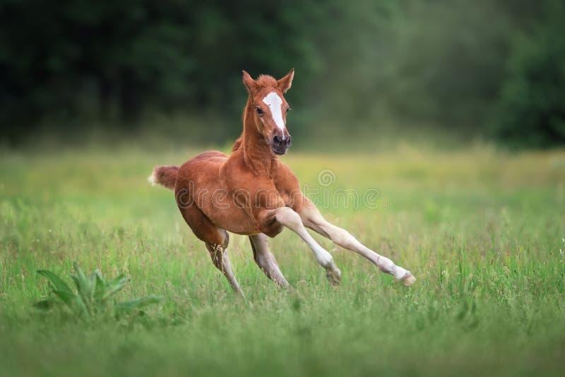 自由流红色的马驹 免版税库存图片