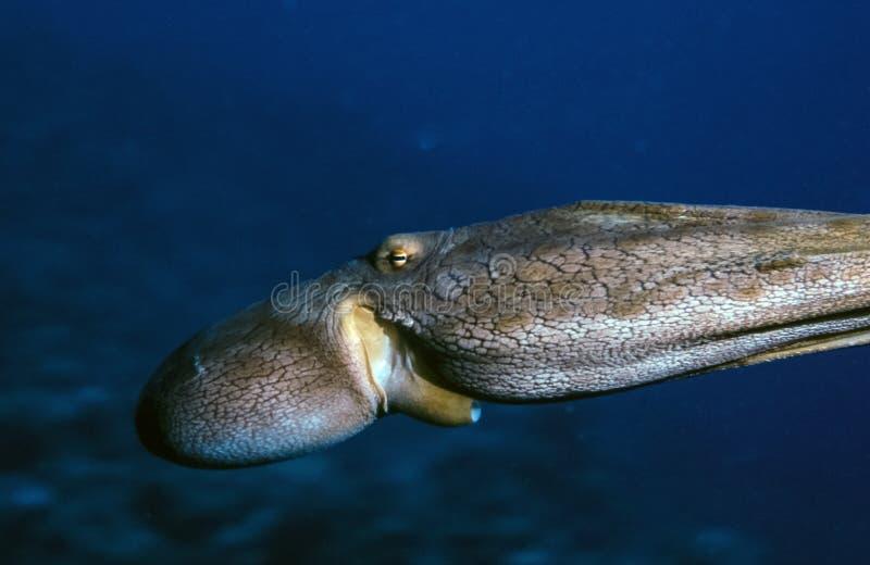 自由浮游的章鱼 免版税库存图片