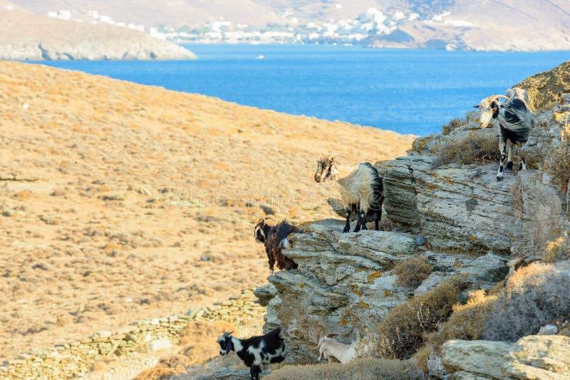 自由漫游的山羊 图库摄影