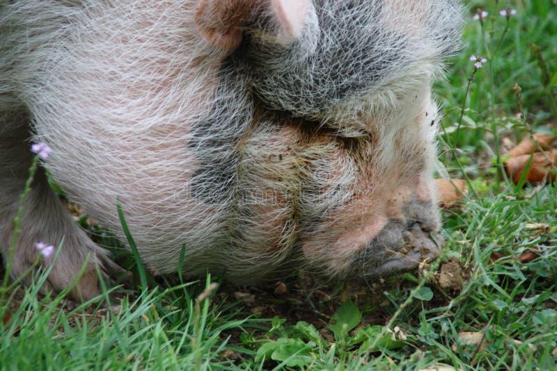 自由猪在grufola公园 图库摄影