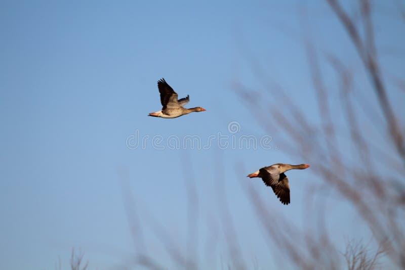 自由珍贵的鸭子在对它宽的居住的生活中 图库摄影