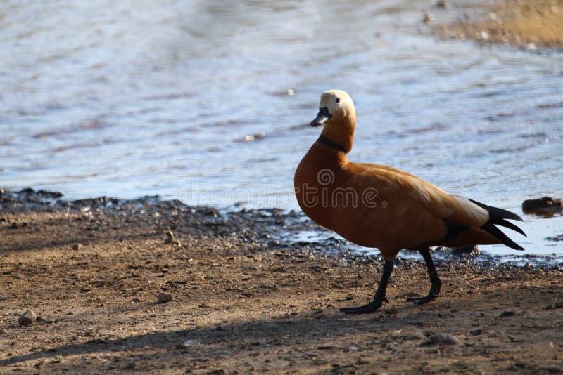 自由珍贵的鸭子在对它宽的居住的生活中 库存图片