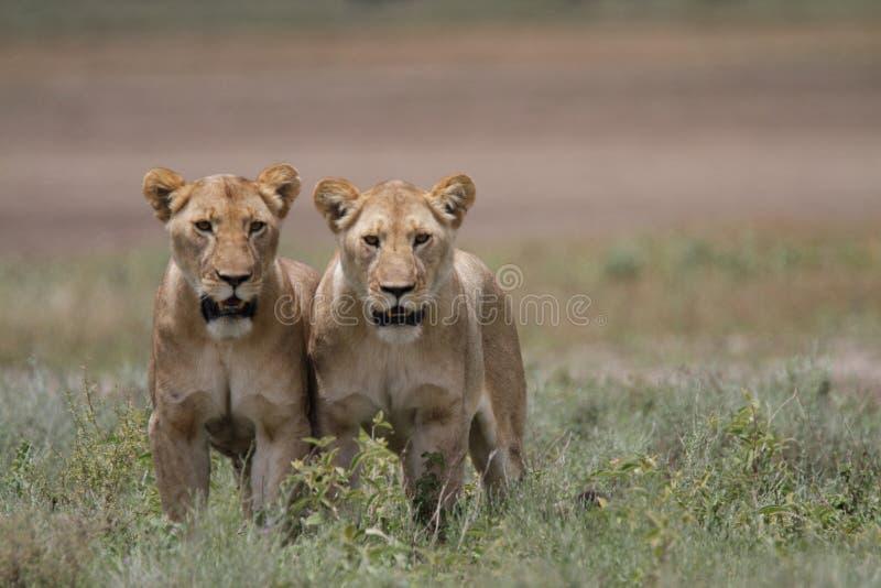 自由野生漫游的非洲狮子 图库摄影