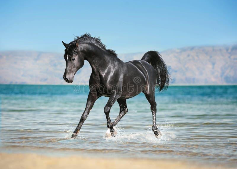 自由黑阿拉伯马跑的低谷飞溅水 免版税库存照片