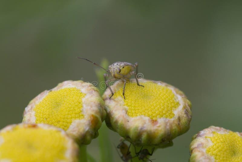 臭虫在黄色花的昆虫画象 库存照片
