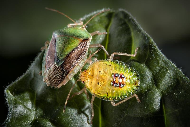 臭虫昆虫夫妇在叶子极端关闭的照片 库存照片