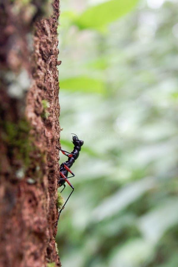 臭虫昆虫生活在下雨季节的森林里 免版税图库摄影
