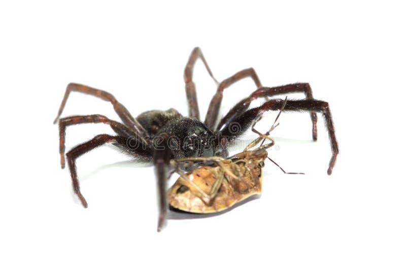 攻击臭虫的黑蜘蛛 库存照片