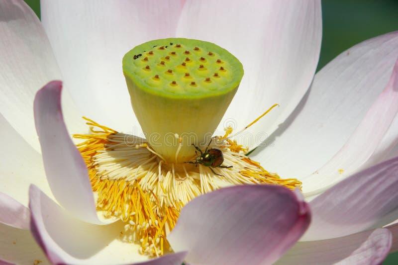 臭虫莲花 库存图片
