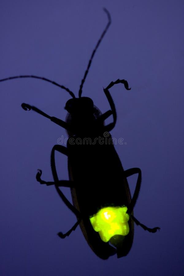 臭虫萤火虫闪动的闪电 免版税库存图片