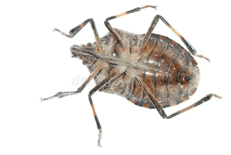 臭虫蜇 免版税库存照片